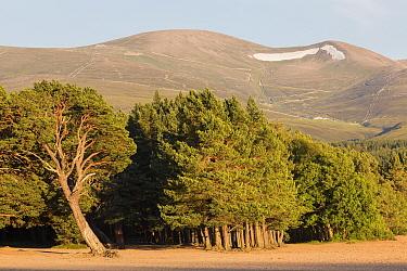 Scots Pine (Pinus sylvestris) forest habitat, growing at edge of freshwater loch, Loch Morlich, Badenoch and Strathspey, Cairngorms National Park, Highlands, Scotland, July  -  Bernd Rohrschneider/ FLPA