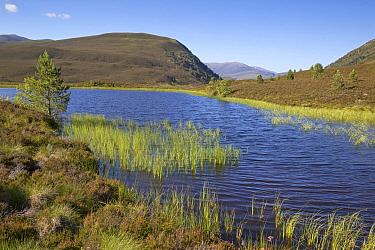 View of freshwater loch and mountains, Glenmore Forest Park, Cairngorms National Park, Highlands, Scotland, July  -  Bernd Rohrschneider/ FLPA