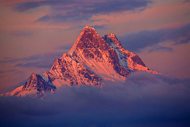 View of snow covered mountain summit amongst clouds at sunset, Schreckhorn, Swiss Alps, Bernese Oberland, Switzerland, June  -  Bernd Rohrschneider/ FLPA