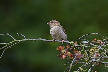 Female House Sparrow (Passer domesticus)  -  David Hosking/ FLPA