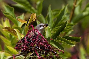 Common Whitethroat male eating Elderberries  -  David Hosking/ FLPA