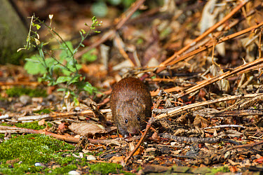 Bank Vole watching from hedgerow cover  -  David Hosking/ FLPA