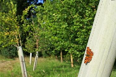 Comma (Polygonia c-album) adult, sunning on plastic sleeve protecting tree sapling, in new 'Millenium' woodland, Vicarage Plantation, Mendlesham, Suffolk, England, July  -  Marcus Webb/ FLPA