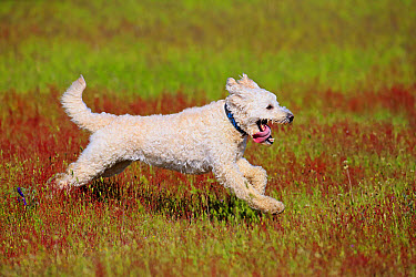 Domestic Dog, Labradoodle, adult male, wearing collar, running in meadow, Rhineland-Palatinate, Germany, May  -  Jurgen and Christine Sohns/ FLPA