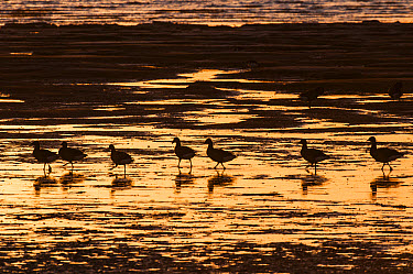 Brent Goose (Branta bernicla) flock, feeding on estuary at low tide, silhouetted at sunrise, Medway Estuary, Shellness, Isle of Sheppey, Kent, England, January  -  Robert Canis/ FLPA
