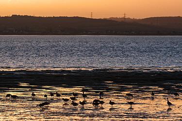Brent Goose (Branta bernicla) flock, feeding on estuary habitat at low tide, silhouetted at sunrise, Medway Estuary, Shellness, Isle of Sheppey, Kent, England, January  -  Robert Canis/ FLPA