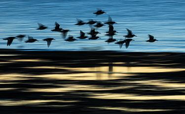 Eurasian Oystercatcher (Haematopus ostralegus) flock, in flight over water, blurred movement, silhouetted at sunrise, Medway Estuary, Shellness, Isle of Sheppey, Kent, England, January  -  Robert Canis/ FLPA
