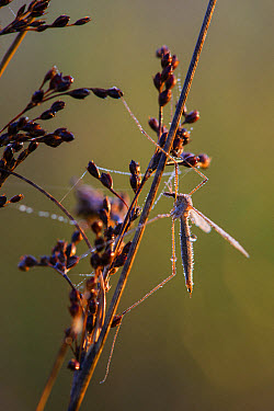 Cranefly (Tipula oleracea) adult, resting on stem, covered in dew at sunrise, Elmley N.N.R., Isle of Sheppey, Kent, England, October  -  Robert Canis/ FLPA