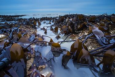 Oarweed (Laminaria digitata) fronds and incoming tide at dawn, Kingsgate Bay, Broadstairs, Kent, England, January  -  Robert Canis/ FLPA