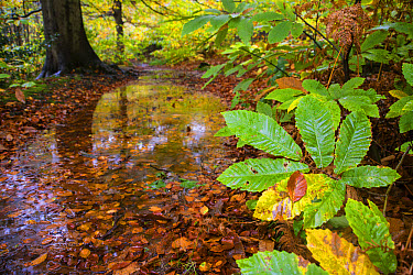 Sweet Chestnut (Castanea sativa) close-up of leaves, changing to autumn colour, growing beside puddle in woodland glade habitat, Kent, England, October  -  Robert Canis/ FLPA