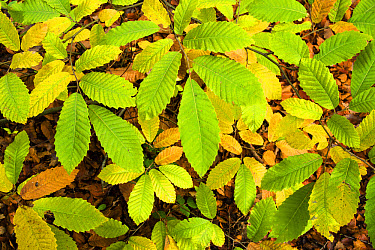 Sweet Chestnut (Castanea sativa) close-up of leaves, changing to autumn colour, growing in coppice woodland, Kent, England, October  -  Robert Canis/ FLPA