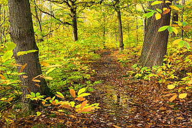 Sweet Chestnut (Castanea sativa) woodland habitat, with leaves changing to autumn colour, Kent, England, October  -  Robert Canis/ FLPA