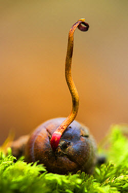 Common Oak (Quercus robur) acorn, germinating, Kent, England, October  -  Robert Canis/ FLPA