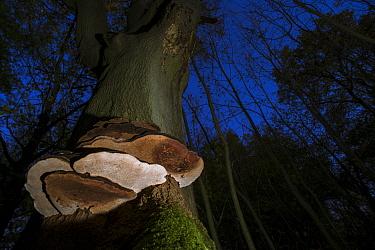 Artist's Fungi (Ganoderma applanatum) fruiting bodies, growing on beech trunk in woodland at twilight, Kent, England, October  -  Robert Canis/ FLPA