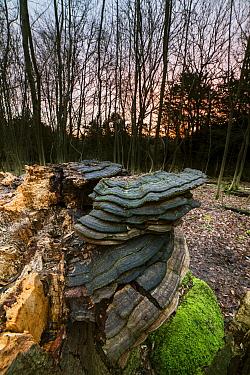 Artist's Fungi (Ganoderma applanatum) fruiting bodies, growing on beech stump in woodland habitat at sunrise, Kent, England, January  -  Robert Canis/ FLPA