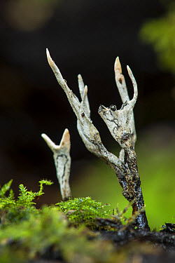 Candle-snuff Fungus (Xylaria hypoxylon) fruiting bodies, growing on moss covered rotting wood, Kent, England, October  -  Robert Canis/ FLPA