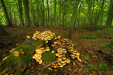 Sulphur Tuft Fungi (Hypholoma fasciculare) fruiting bodies, cluster growing on stump in beech woodland habitat, King's Wood, Challock, North Downs, Kent, England, September  -  Robert Canis/ FLPA