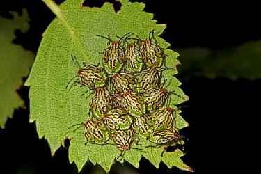 Parent Bug (Elasmucha grisea) nymphs, clustered together on leaf, Norfolk, England, July  -  Roger Tidman/ FLPA