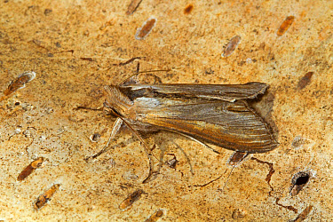 Star-wort Moth (Cucullia asteris) adult, resting on bark, Cley-next-the-sea, Norfolk, England, July  -  Roger Tidman/ FLPA