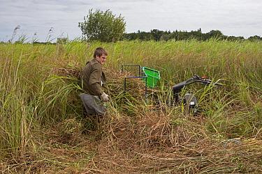 Sedge cutting with machine in marshland, Sutton Fen RSPB Reserve, The Broads, Norfolk, England, July  -  Roger Tidman/ FLPA