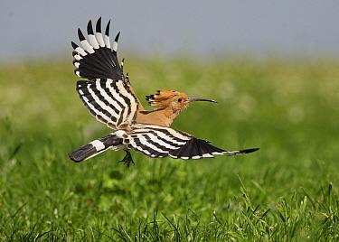 Eurasian Hoopoe (Upupa epops) adult, in flight, Hortobagy National Park, Hungary, April  -  Michael Durham/ FLPA