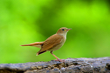 Common Nightingale (Luscinia megarhynchos) adult, standing on log in woodland, Hortobagy National Park, Hungary, April  -  Michael Durham/ FLPA
