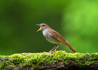 Common Nightingale (Luscinia megarhynchos) adult, singing, standing on moss covered log in woodland, Hortobagy National Park, Hungary, April  -  Michael Durham/ FLPA