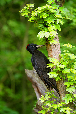 Black Woodpecker (Dryocopus martius) adult female, foraging on branch in woodland, Hortobagy National Park, Hungary, April  -  Michael Durham/ FLPA