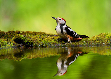 Middle Spotted Woodpecker (Dendrocopos medius) adult, drinking at pool in woodland, Hortobagy National Park, Hungary, April  -  Michael Durham/ FLPA