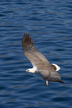 White-bellied Fish-eagle (Haliaeetus leucogaster) adult, in flight over sea, Horseshoe Bay, Rinca Island, Komodo National Park, Lesser Sunda Islands, Indonesia, July  -  Colin Marshall/ FLPA
