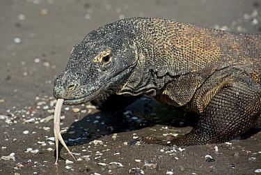 Komodo Dragon (Varanus komodoensis) adult, close-up of head, flicking forked tongue, on beach, Horseshoe Bay, Rinca Island, Komodo National Park, Lesser Sunda Islands, Indonesia, July  -  Colin Marshall/ FLPA