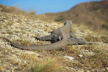 Komodo Dragon (Varanus komodoensis) adult, rear view, resting on rocky ground, Rinca Island, Komodo National Park, Lesser Sunda Islands, Indonesia, July  -  Colin Marshall/ FLPA