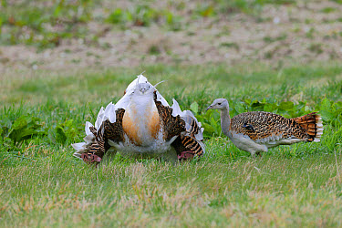 Great Bustard (Otis tarda) adult male, with wing tags, displaying to adult female, released in reintroduction project, Wiltshire, England, March  -  Mike Lane/ FLPA