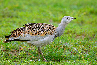 Great Bustard (Otis tarda) adult female, with leg rings, standing on grass, released in reintroduction project, Wiltshire, England, March  -  Mike Lane/ FLPA