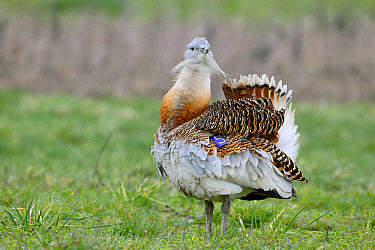 Great Bustard (Otis tarda) adult male, with wing tag, displaying on grass, released in reintroduction project, Wiltshire, England, March  -  Mike Lane/ FLPA