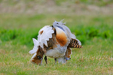 Great Bustard (Otis tarda) adult male, with wing tags, displaying on grass, released in reintroduction project, Wiltshire, England, March  -  Mike Lane/ FLPA