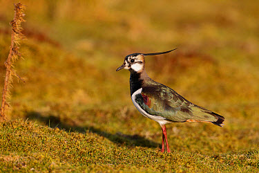 Northern Lapwing (Vanellus vanellus) adult male, moulting into breeding plumage, standing on ground, Kent, England, March  -  Mike Lane/ FLPA