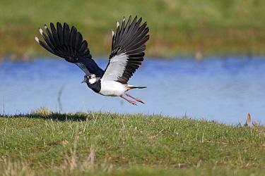 Northern Lapwing (Vanellus vanellus) adult male, breeding plumage, in flight, Kent, England, March  -  Mike Lane/ FLPA