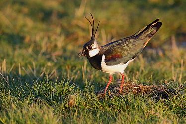 Northern Lapwing (Vanellus vanellus) adult male, breeding plumage, in ground display, Kent, England, March  -  Mike Lane/ FLPA