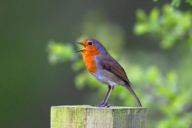 European Robin (Erithacus rubecula) adult, singing, perched on post, Warwickshire, England, March  -  Mike Lane/ FLPA
