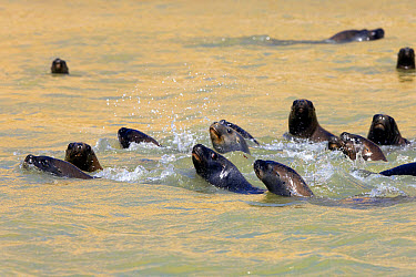 South American Sealion (Otaria flavescens) group, swimming in sea, Paracas National Reserve, Ica, Peru, April  -  Gerard Lacz/ FLPA