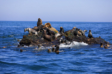 South American Sealion (Otaria flavescens) colony, resting on rock, Paracas National Reserve, Ica, Peru, April  -  Gerard Lacz/ FLPA