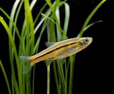 Blackline Rasbora (Rasbora borapetensis) juvenile, swimming, in aquarium  -  Gerard Lacz/ FLPA