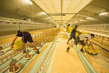 Chicken farming, workers putting layer chicks into rearing building, Preston, Lancashire, England, August  -  John Eveson/ FLPA