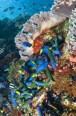 Moon Wrasse (Thalassoma lunare) shoal, feeding on Indo-Pacific Sergeant Major (Abudefduf vaigiensis) eggs, Batu Bulong, Tatawa Besar Island, Komodo National Park, Lesser Sunda Islands, Indonesia, July  -  Colin Marshall/ FLPA