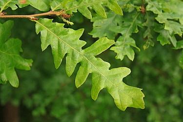 Turkey Oak (Quercus cerris) close-up of leaves, growing in woodland, Vicarage Plantation, Mendlesham, Suffolk, England, August  -  Marcus Webb/ FLPA
