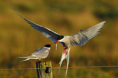 Arctic Tern (Sterna paradisea) adult pair, courtship feeding, male in flight, giving fish to female standing on fencepost during food pass, Reykjanes, Iceland, August  -  Paul Miguel/ FLPA