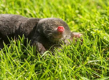 European Mole (Talpa europaea) adult, with nose raised, on garden lawn, Chipping, Lancashire, England, August  -  John Eveson/ FLPA