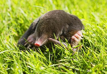 European Mole (Talpa europaea) adult, feeding on earthworm, on garden lawn, Chipping, Lancashire, England, August  -  John Eveson/ FLPA
