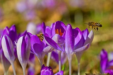 Western Honey Bee (Apis mellifera) two adults, workers feeding on Crocus (Crocus sp) flowers in garden, Powys, Wales, February  -  Richard Becker/ FLPA